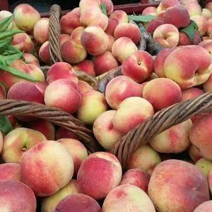 山东淄博鲜桃,量大质优,品种离核带毛油桃,八月酥,红桃,...
