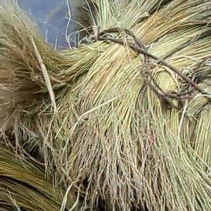 香糯米稻草很合适包捆食物品种!