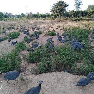 农家散养珍珠鸡,吃大米,玉米,联系方式173718784...