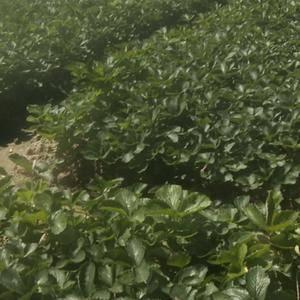 优质红颜草莓苗产地直销 质量保证 价格实惠量大从优 希望...