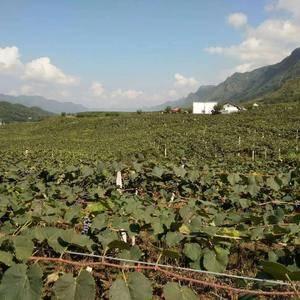 贵州高山二号葡萄,农业局定名为紫秋葡萄,每年8月中旬左右...