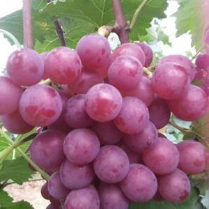 潍坊临朐万亩巨峰葡萄八月底大量上市,欢迎全国各地朋友前来...