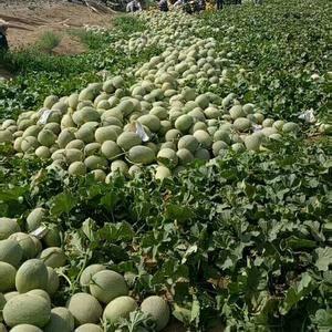 新疆哈密瓜供应,有要的联系,19996798784