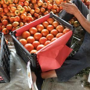 大红西红柿大量上市,地理位置优越,交通便利,天气凉爽,果...