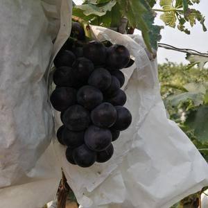 河北秦皇岛大量套袋京亚葡萄已上市