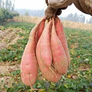 河北廊坊安次区《拾民德、薯业》提供各种品种红薯支持地瓜坊...