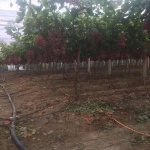 专业代办各类葡萄,阳光玫瑰。夏黑红提