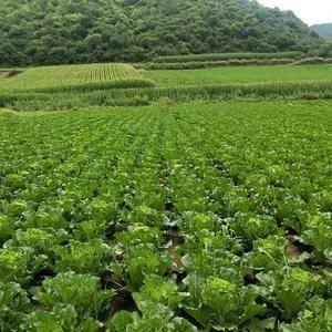 马栏山万亩优质大白菜上市了,有需要的老板请联系,常年种植...