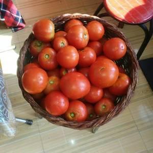 下庄2000亩优质有机西红柿开始上市了,采购商快联系我。
