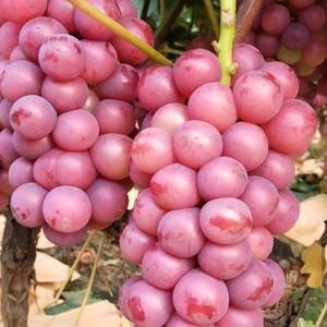 鲁山县万亩巨峰葡萄种植基地  抱紧串  颗粒大  颜色鲜...