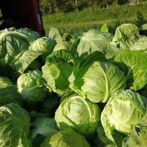 本基地属于高海拔、高冷地区,出产的韩国黄心大白菜、中甘2...