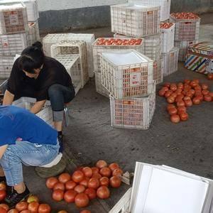 山西晋中市左权县下庄硬粉西红柿刚刚上市,各位老板务失良机...