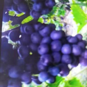 自家葡萄园种的有籽玫瑰香葡萄新鲜上市,欢迎大家前往采购,...