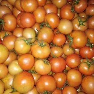 西红柿大量上市中,欢迎各地老板来采购