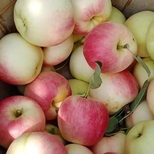 15542925228散沙苹果口感甜脆 色泽光鲜 品质超...