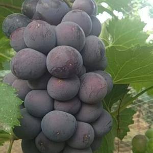 晋南巨峰葡萄上市,大量供应