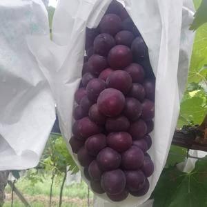 陕西户太八号葡萄,颗粒大,口感甜,皮很利,水分足,把行紧...