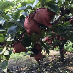 自家种的黄金梨,目前已大量成熟,价低品优,规格在8两以上...