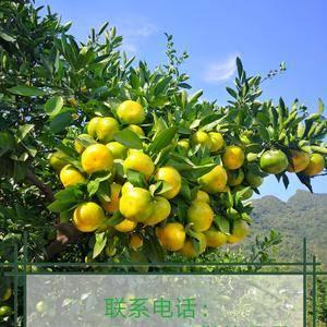 本处大量出售宜昌蜜桔、椪柑、芦柑、春碰、晚芦、秭归脐橙...
