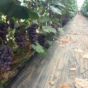 精品夏黑葡萄大量上市了,本人多年诚信代办,欢迎老板们的光...