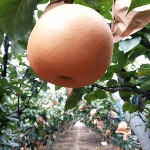 圆黄梨大量上市,口感好,果行好,表光好现价一元一斤,需要...