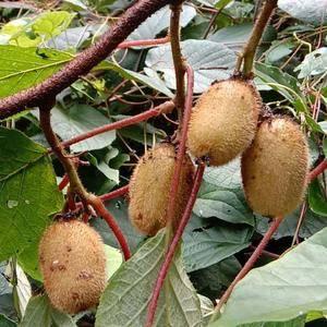 陕西汉中秦岭山脉,真正大自然的纯天然美味野生猕猴桃即将上...
