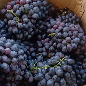 有需要大量求购葡萄的欢迎前来购买,价钱便宜联系电话,13...