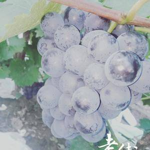 京亚葡萄大量上市,联系电话15832596129