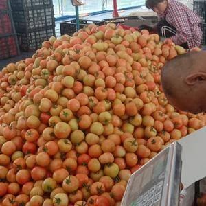 直销产地大红、粉硬西红柿大量上市!为购货商提供优质场地和...