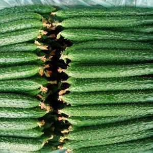 产地大量供应密刺黄瓜,电话微信15069548822