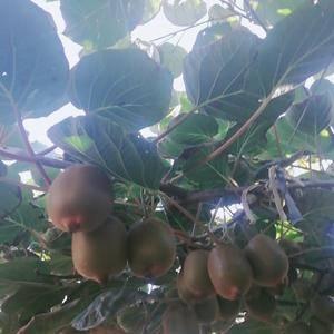 陕西周至猕猴桃产地大量供货各类品种精品,次品猕猴桃,需要...