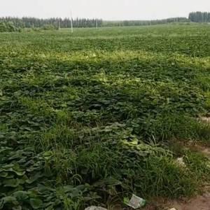 家里中了两百亩红薯供应求收购,还没收现场收购,需要的联系...