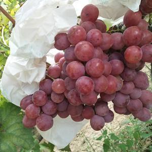 红提大量上市颗粒饱满口感香甜供应时间长,需要代发代收的联...