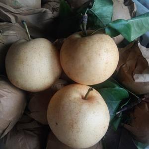 黄金梨,大量供应,个大脆甜水分足,现摘新鲜