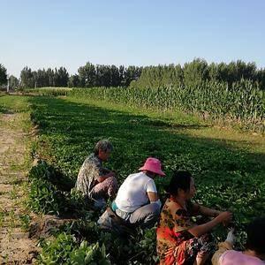 天津武清区,草莓种苗