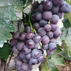 巨峰葡萄上市了