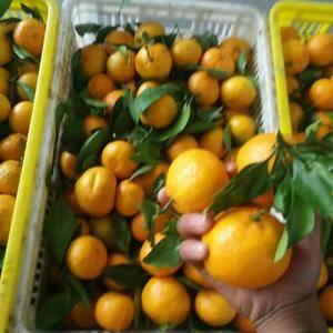 湖北特早蜜桔出产于宜昌市区独特的土壤气候环境中,山多林蜜...