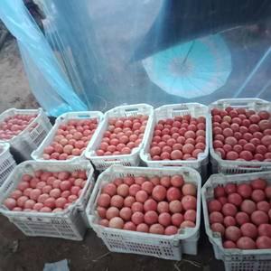 大量出售西红柿,愿意的联系
