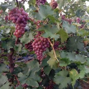 卖葡萄巨峰,夏黑,140,京亚,维多利亚等多品种开始成熟...
