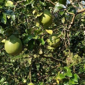 张家界高山蜜柚预售开始,甜度高,可长时间存放,个头大皮薄...
