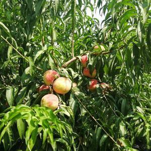 这里种的桃子特点就是艳,大,圆,硬,超甜有浓郁的香味