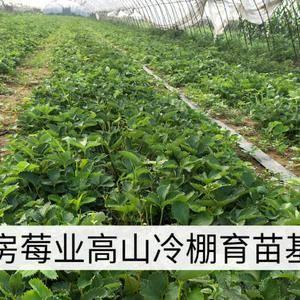 红颜草莓苗,冷棚高山育苗,放心的选择