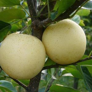本地的梨产自驰名中外的莱阳梨故乡。我们的梨质量优,口感好...