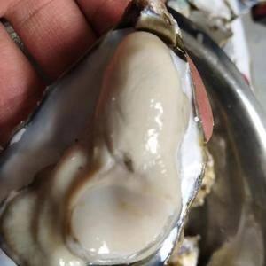 本公司常年供应生蚝,纯乳山生蚝,鲜肥,乳山牡蛎,被誉为海...