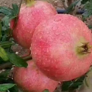 自家栽种无公害的正宗绿色食品突尼斯软籽石榴,单果重八两以...