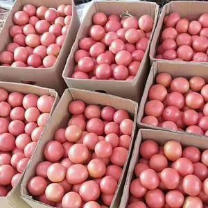 山西省屯留区旱地西红柿,量大质优