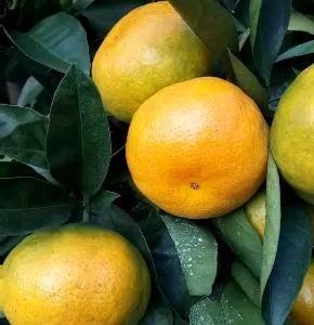 15549289865特早蜜桔产地大量上市热中,含糖量高...