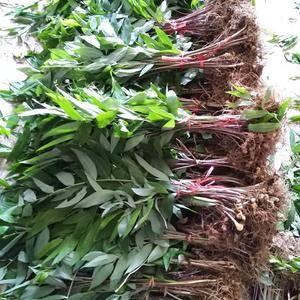 姜形多花黄精块茎芽头苗现货大量供应