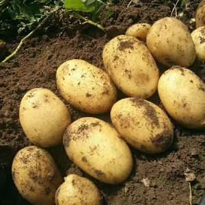 吉林尤金,延暑,土岩,杠三七土豆大量供应15144446...