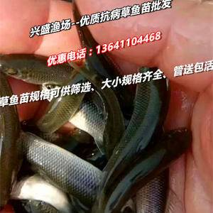兴盛渔场有大量池塘养殖草鱼苗、鲤鱼苗、鲫鱼苗、鲢鱼等鱼苗...